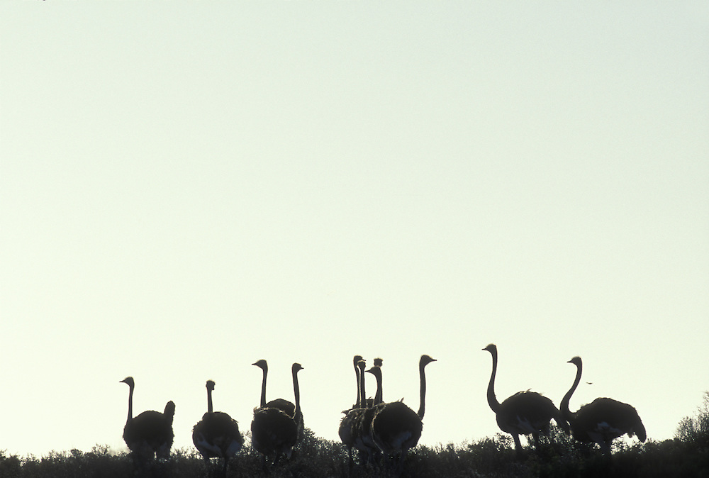 South Africa, West Coast National Park, Ostriches at sunset by Atlantic coast (Struthio camelus)