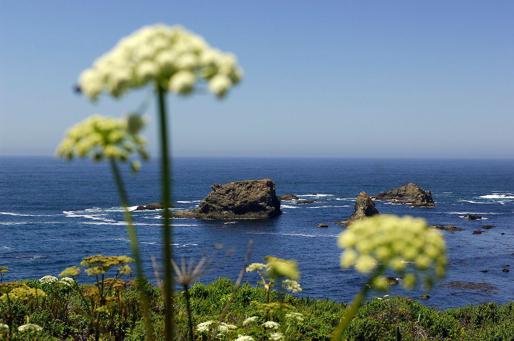 Flowers along coastal Highway 1 near Fort Bragg, California, United States of America