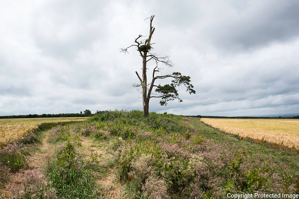 Kelso, Scottish Borders, UK. 10th July 2016. An Osprey nest in a prominent tree surrounded by arable farmland.