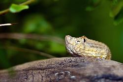 19 October 2010: Dunn's Hognosed Pitviper snake. St. Louis Zoo, St. Louis Missouri