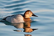 Canvasback, Aythya valisineria, female, Detroit River, Michigan
