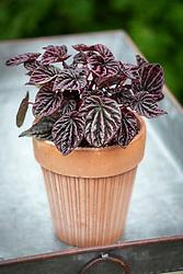 Peperomia caperata 'Schumi Red Sienna' in terracotta pot