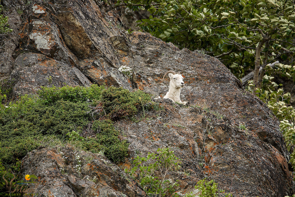 Dall sheep ewe lying on rock