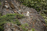 Dall sheep ewe lying on rock