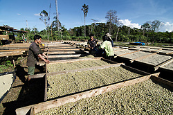 Lao people displays Arabica coffee beans for drying process.Packsong, Laos, Asia
