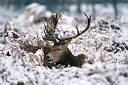 © Licensed to London News Pictures. 03/02/2015. Richmond, UK Deer in snow in richmond Park, South West London today 3rd February 2015. Snow fell across the London area overnight . Photo credit : Stephen Simpson/LNP