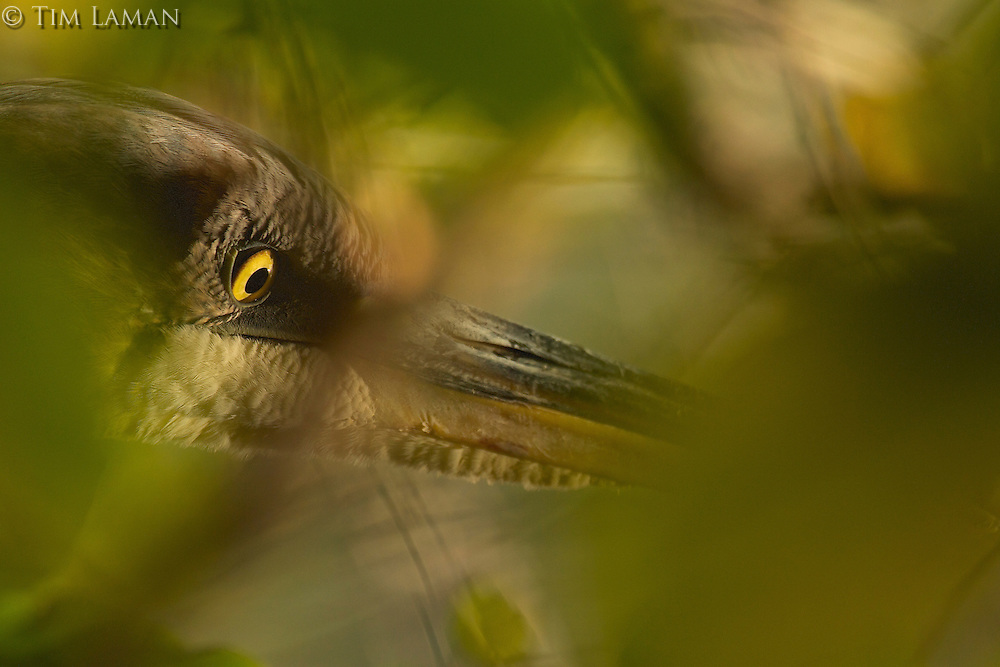 """Eye of the Heron"" .Close-up of a hunting Great Blue Heron (Ardea herodias) though green foliage."