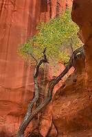 Cottonwood tree in Choprock Canyon, Grand Staircase Escalante National Monument Utah