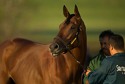 Breeder's Cup 2015 contender Beholder was brushed down after taking the track, Thursday, Oct. 22, 2015 at Keeneland Racecourse in Lexington.
