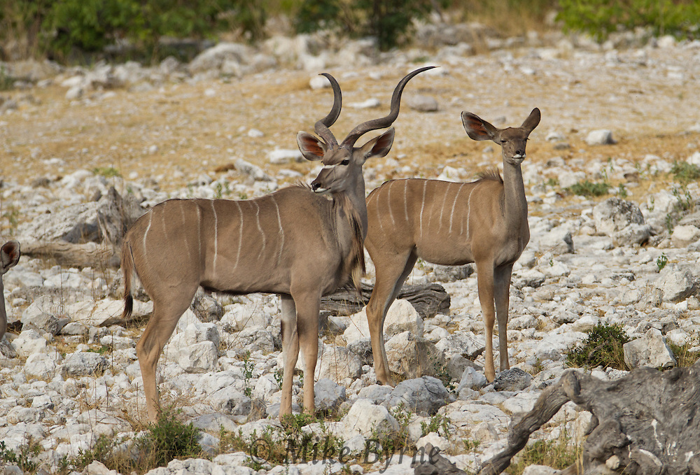 Greater Kudu (Tragelaphus strepsiceros) in Etosha National Park, Namibia.