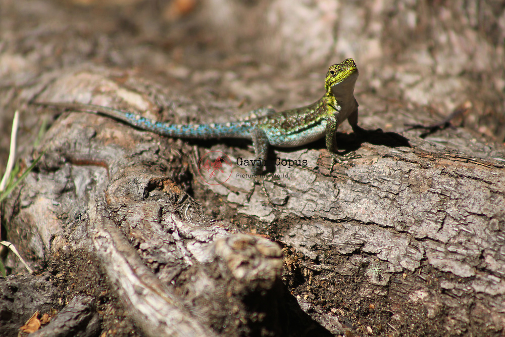 Lizard on a Tree in Patagonia