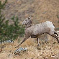 running bighorn kid