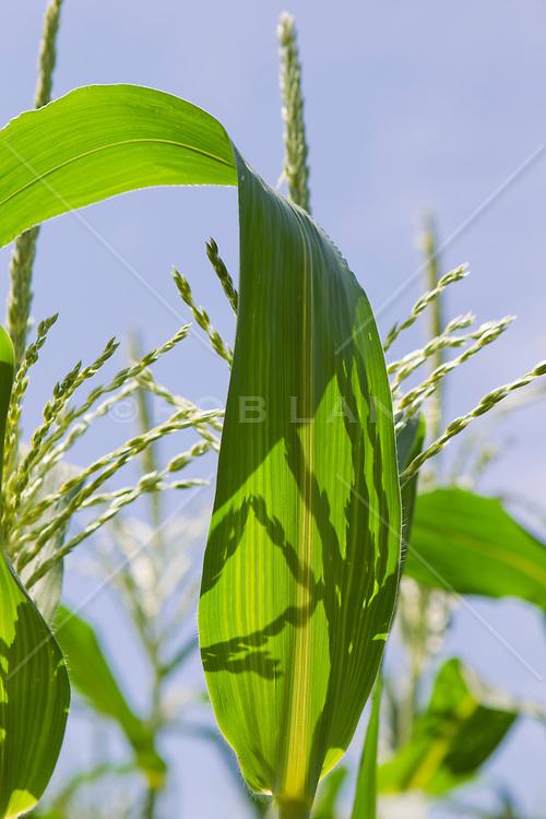 Detail of corn stalk