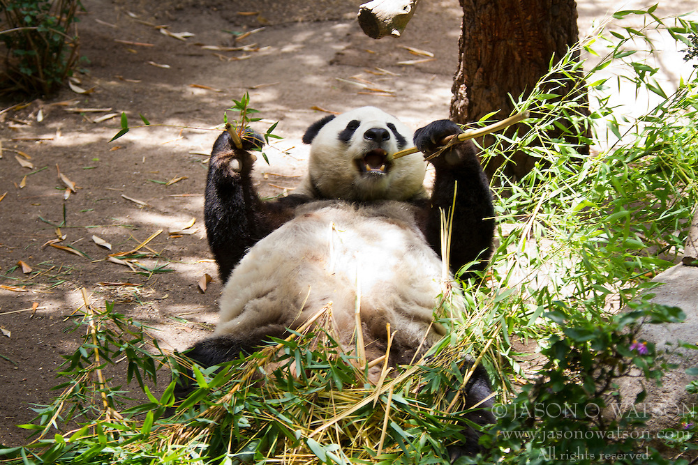 A Giant panda (Ailuropoda melanoleuca) bear on its back eating bamboo, San Diego Zoo, San Diego, California, United States of America