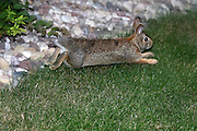 This little rabbit, just one of several dozen that have chosen my home as their home, makes a quick getaway after dining on one of my wife's prized shrubs.