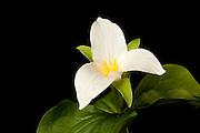 A western white trillium (trillium Ovatum) blooming in eary spring. The white trillium bears distinctive 3-petaled, white flowers in spring above its dark-green leaves.