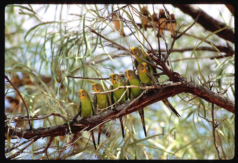 Six budgerigar birds perch along branch as zebra finches sit in background; Tanami Desert Australia