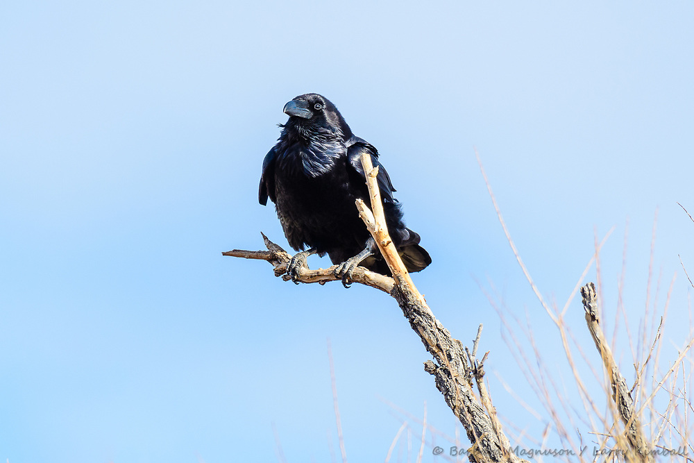 Chihuahuan Raven [Corvus cryptoleucus] resting on tree snag; Bosque del Apache NWR., NM