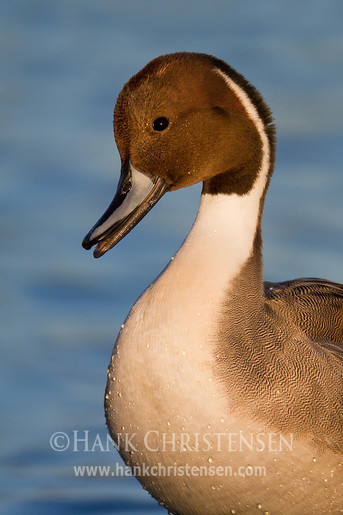 A northern pintail raises its head to let out a peep, signaling to other pintails