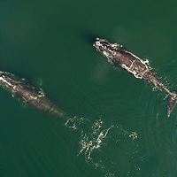Aerial view of a North Atlantic Right Whales (Eubalaena glacialis) feeding in the Bay of Fundy, Canada, September, 2016.