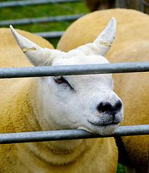 Biggar, South Lanarkshire, Scotland 23 July 2016<br /> <br /> Texel sheep in a pen waiting to be shown<br /> <br /> <br /> (c) Andrew Wilson | Edinburgh Elite media