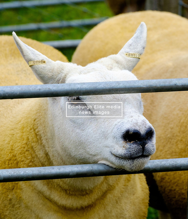 Biggar, South Lanarkshire, Scotland 23 July 2016<br /> <br /> Texel sheep in a pen waiting to be shown<br /> <br /> <br /> (c) Andrew Wilson | Edinburgh Elite media
