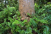 Fishbone ferns growing at base of Kauri Pine tree, Barron Gorge National Park, Queensland, Australia