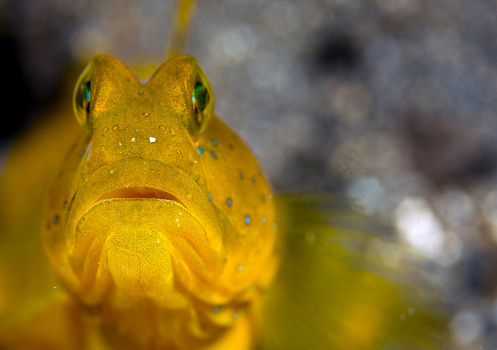 Yellow Shrimp Goby (Cryptocentrus cinctus) in Lembeh Strait in North Sulawesi, Indonesia.