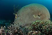 brain coral (Leptoria phrygia) Raja Ampat, West Papua, Indonesia, Pacific Ocean