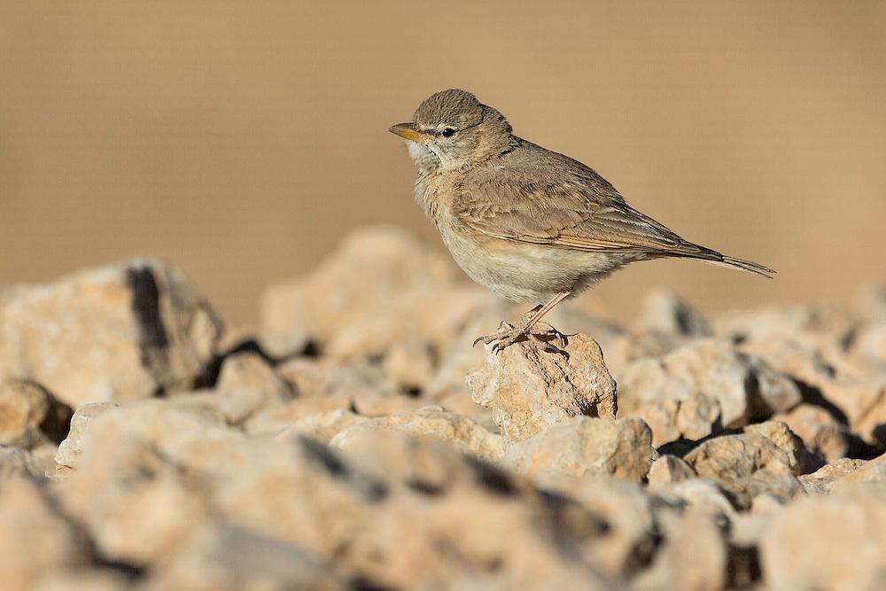 SIngle Desert Lark Ammomanes deserti perched on rocks in Eilat, Israel
