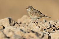 SIngle Desert Lark Ammomanes deserti perched on rocks in Eilat, Israel