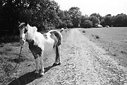 Piebald the horse, Glastonbury, Somerset, 1989