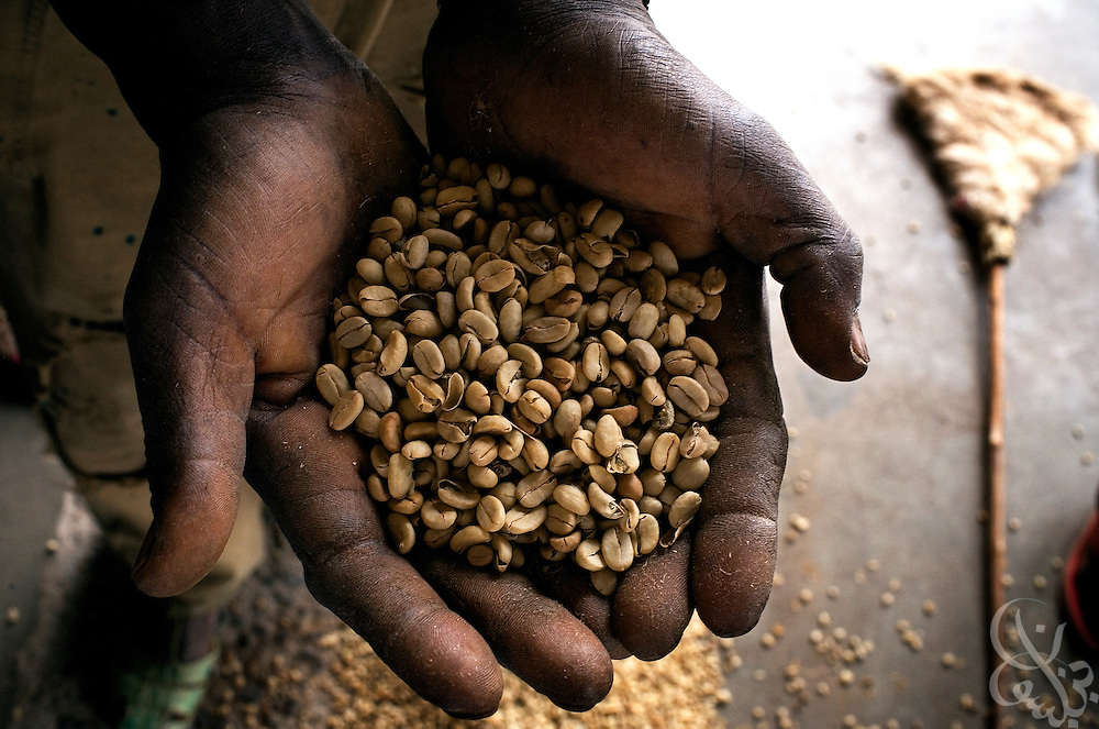 """An Ethiopian worker holds a handful of export quality green coffee beans in the giant warehouse of the Keffa Export Coffee Processing Plant February 21, 2007 in Addis Ababa, Ethiopia.  Ethiopia exports more than 120,000 metric tons of green coffee beans per year, and one in four Ethiopians is employed within the coffee business. Because of it's value in world markets, coffee is often referred to as """"Black Gold""""."""