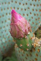 Beavertail Cactus (Opuntia basilaris) flower buds, Sonoran Desert, Anza-Borrego State Park California