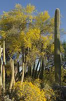 Sonoran desert oasis, Organ Pipe Cactus National Monument Arizona