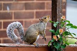 A Grey Squirrel (Scientific name Sciurus Carolinensison) Eats from a climbing rose using  a garden fence as a walk way in a British Suburban Garden<br /> <br />  Copyright Paul David Drabble<br /> 17 July 2019<br />  www.pauldaviddrabble.co.uk