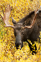 A Bull Moose stands in the thick willows in the middle of a rainstorm.