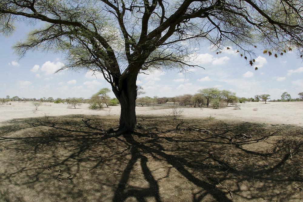 Africa, Botswana, Acacia tree casts shade from midday sun in Kalahari Desert west of town of Maun