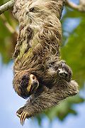 Brown-throated Three-toed Sloth <br /> Bradypus variegatus<br /> Mother and newborn baby (less than 1 week old)hanging from tree<br /> Aviarios Sloth Sanctuary, Costa Rica<br /> *Digitally removed branch from background