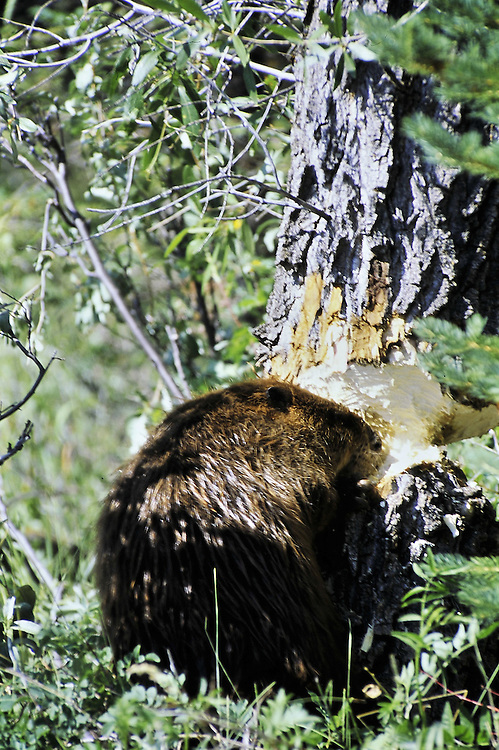 Chewing through a 12 inch Cottonwood. Grand Teton National Park, Wyoming