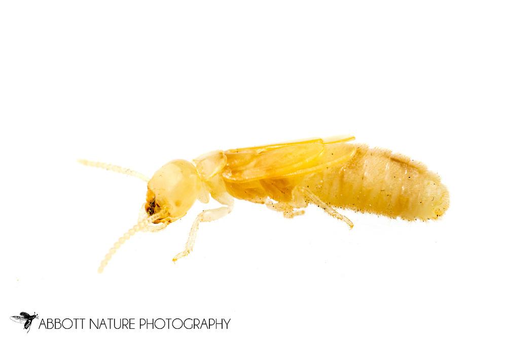 Eastern Subterranean Termite (Reticulitermes flavipes) - developing wings<br /> United States: Alabama: Tuscaloosa Co.<br /> Tulip Tree Springs off Echola Rd.; Elrod<br /> 21-Jan-2018<br /> J.C. Abbott #3022