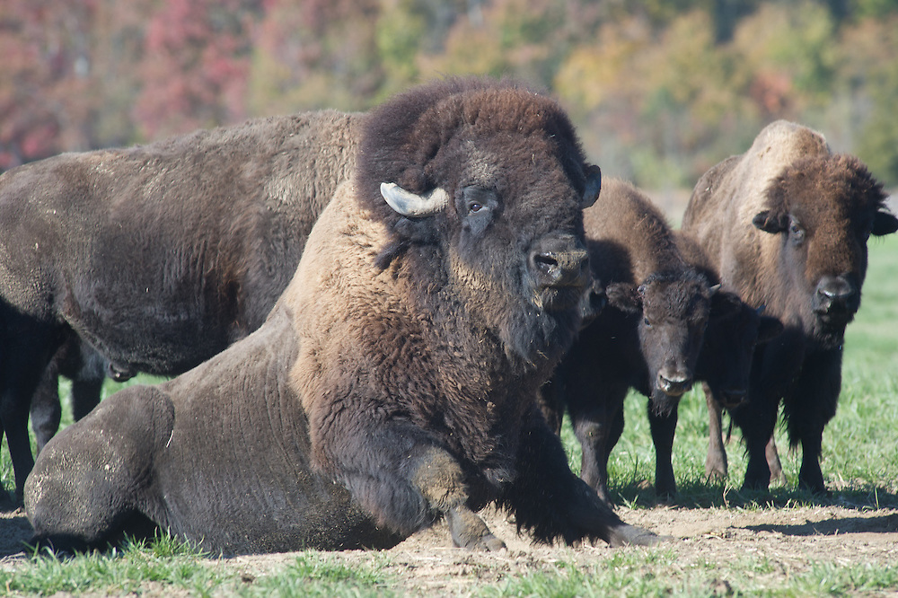Bison rolling on the ground in the field