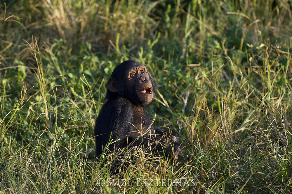 Chimpanzee<br /> Pan troglodytes<br /> Ngamba Island Chimpanzee, Sanctuary <br /> *Captive