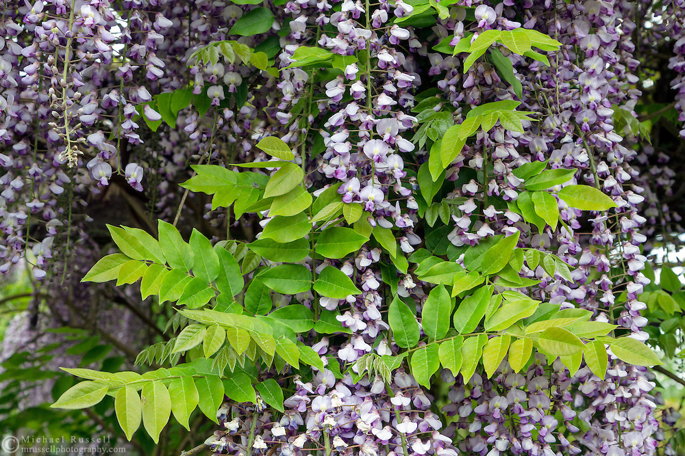 Purple Japanese Wisteria (Wisteria floribunda) flowers and spring leaves