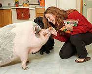 Lenore Grogan feeds a carrott to her pet pig Daisy as her dog Taser looks on in her home in Salisbury Mills on Thursday, Nov. 4, 2010.  Grogan has a seasonal job at Target.