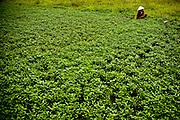 A Vietnamese farmer working in her  field, outskirt of Hanoi, Vietnam, Southeast Asia