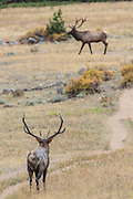 Rocky Mountain elk in autumn habitat