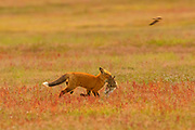 A red fox (Vulpes vulpes) runs with a European rabbit (Oryctolagus cunuculus) it caught in the prairie of San Juan Island National Historical Park on San Juan Island, Washington. Both foxes and rabbits were introduced to San Juan Island. The rabbits were introduced to the island in the 1890s by settlers; foxes were introduced occasionally in the 1900s. The European rabbits in particular are considered an invasive species, turning the prairie into an unsustainable barren landscape with their vast burrows. This displaces small native mammals, such as the Townsend's vole. Seconds after this image was taken, a bald eagle attacked the fox to steal the rabbit.