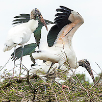 Wood storks during nesting season.