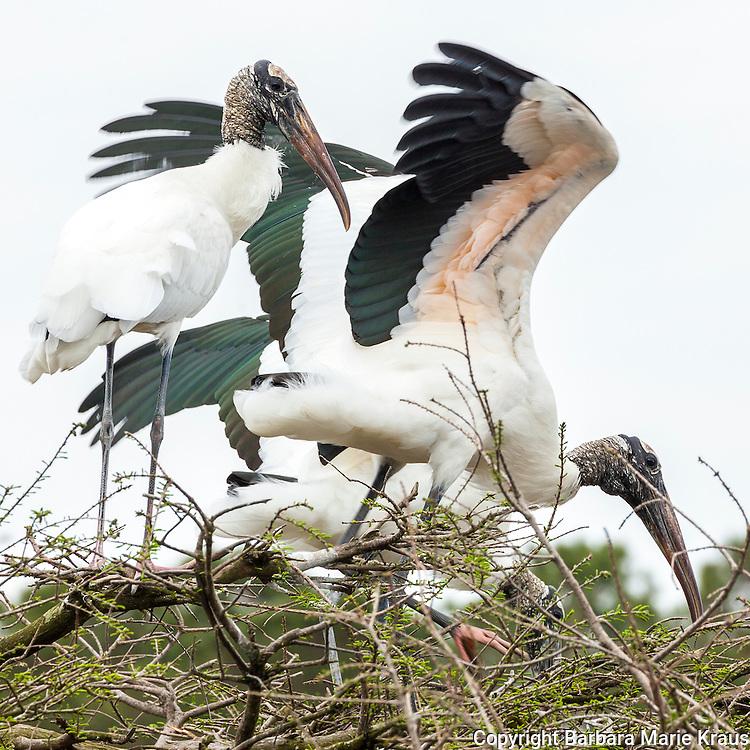 Wood storks during nesting season.